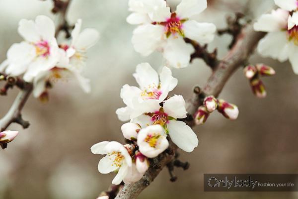 加州巴旦木花