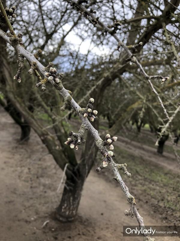 巴旦木花苞 (1)